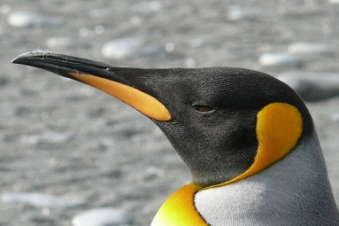 Laughing Gas Released From Penguins Poop Causes A RuckusTo The Environment